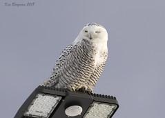 Snowy Owl on a warm morning (wandering tattler) Tags: bird animal wildlife owl snowyowl snowy raptor arctic white keene newhampshire newengland 2018