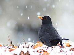 Blackbird on the Hedge (717Images) Tags: blackbird garden wildlife british nature snow winter snowy snowfall snowflakes