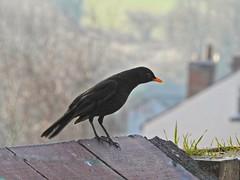 Blackbird (Sharon B Mott) Tags: blackbird bird britishwildlife wildlife nature britishbird gardenvisitor inthegarden february winter