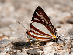 The White Punch (chaz jackson) Tags: dodonadeodata thewhitepunch lycaenidae rhiodininae punch butterfly insect thailand macro