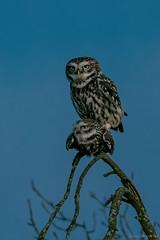 Steinkauzkopula / Athene Noctua (eric-d at gmx.net) Tags: deutschland steinkauz kauz littleowl strigidae eule owl birds athenenoctua eric wildlife ngc