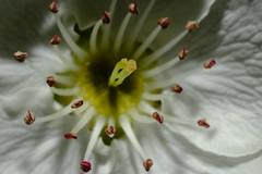 Pear Blossom 2018 2 (skot917) Tags: georgia nikkoro35f2 peartree backyard blossom macro reverselens spring xt2
