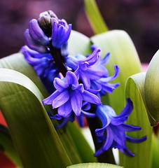 DSC_8835 Hyacinths (PeaTJay) Tags: nikond750 sigma reading lowerearley berkshire macro micro closeups gardens outdoors nature flora fauna plants flowers hyacinths