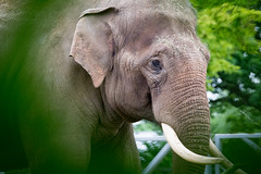 Indian Elephant (mattbeee) Tags: chester elephant framed indian leafy zoo boroughofcolchester england unitedkingdom gb