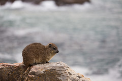 Rock dassie in Hermanus (davidthegray) Tags: sudafrica southafrica hermanus westerncape za