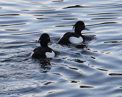Tufted Ducks(Aythya fuligula) (jdathebowler Thanks for 1.4 Million + views.) Tags: aythyafuligula tufted ducks male wildfowl duck speciesafuligula familyanatidae orderanseriformes aves divingduck