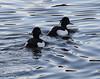 Tufted Ducks(Aythya fuligula) (jdathebowler Thanks for 1.4 Million + views.) Tags: aythyafuligula tufted ducks male wildfowl duck speciesafuligula familyanatidae orderanseriformes aves divingduck