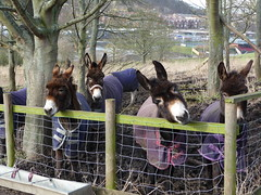 Donkeys awaiting treats (Martellotower) Tags: donkey scarborough beach winter quarters