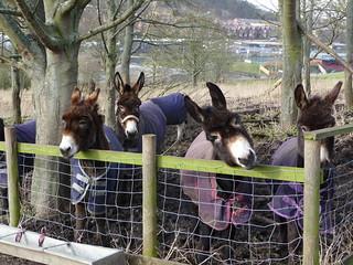 Donkeys awaiting treats
