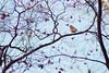 Male House Finch (brandon_gerringer) Tags: housefinch finch bird birdphotography canon nature naturephotography wildlife wildlifephotography haemorhousmexicanus urban japanesemaple maple blue