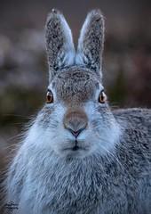 Young Mountain Hare (birdbubs) Tags: