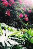 Subtropical (Katie Tarpey) Tags: monstera monsteradeliciosa flowers subtropical subtropics summer newsouthwales coffsharbour australia exploring nature film 35mm nikonfm10 nikkor50mm14 agfa agfavistaplus200 pinkandgreen light sun