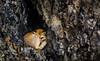 A Fox, Sleeps (eddm1962) Tags: fox afoxsleeps yellowstone yellowstonenationalpark ynp donotdisturb
