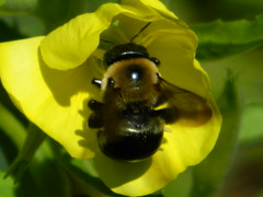 Bumble Bee (dieter1.freier1) Tags: bumblebee insect flier hairy nector bug stinger summer flower