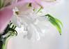 Just a Peek (lclower19) Tags: odc part flower petal vase rim lip closeup macro