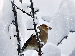 Bird in Snow (Coccothraustes coccothraustes) (R_Ivanova) Tags: nature winter snow bird cold white wood tree textured sony rivanova риванова природа зима птица черешарка сняг текстура coccothraustescoccothraustes