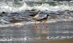 DSC00099 Common Redshank (Tringa totanus) (vlupadya) Tags: greatnature animal indian0birds aves fauna common redshank tringa kundapura karnataka
