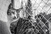 Cat (bahvicente) Tags: cat petphotography fotografiapet srd blackandwhite