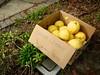 eureka lemons (citymaus) Tags: napa eureka lemons yard tree trees free givaway giveaway neighborhood