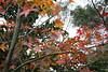 IMG_0686 (Chris@Tamsui) Tags: 楓 maple 紅葉 koyo