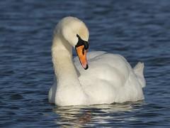 Mute Swan (ukstormchaser (A.k.a The Bug Whisperer)) Tags: mute swan swans bird birds animal animals wildlife water milton keynes surface pond ponds buckinghamshire afternoon sunlight