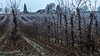 The last fruit on the bushes (Peter Heitzinger) Tags: tau landschaft oberoesterreich obstplantage austria landscapes orchard upperaustria mistlbach