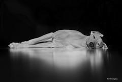 Sleeping (marcusgier) Tags: dog hund whippet sighthound studio black white