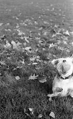 Good boy (henrywinn) Tags: 35 dog ball park film pentax k1000 ilford fp4