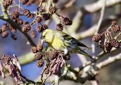 Male Siskin - Taken at Sywell Country Park, Sywell, Northamptonshire. UK (Ian J Hicks) Tags: