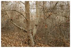 Hahamongna_0495 (Thomas Willard) Tags: platanusracemosa sycamore western tree hahamongna park california foothills woods deciduous natural area