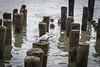 DSC_1047 (cdowney1981) Tags: newyorkcity nyc hudsonriver seagull
