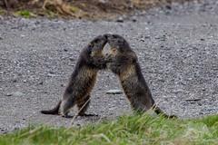 The Marmot Kiss (fascinationwildlife) Tags: animal mammal wild wildlife nature natur national park hohe tauern austria österreich europe marmot alps alpine alpen kiss funny moment murmeltier summer