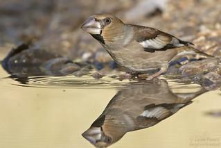 Hawfinch, female