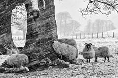 Sheep in the Snow (Phil Bloxham) Tags: sheep alnwick northumberland livestock snow blizzard wool curious mono blackandwhite