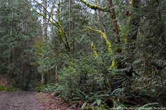 2018-01-24 Whistle Lake Trail 21 (05) (1024x680) (-jon) Tags: anacortes skagitcounty skagit fidalgoisland sanjuanislands washingtonstate washington pnw pacificnorthwest salishsea pugetsound acfl anacortescommunityforestlands winter tree woods forest whistlelake 21 trail lake nikon nikoncoolpixl22 a266122photographyproduction alder fern douglasfir