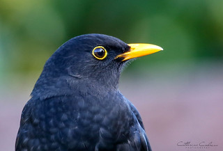 Blackbird Headshot..    [ Explored ]