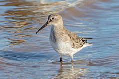 JWL0291  Dunlin... (jefflack Wildlife&Nature) Tags: dunlin dunlins birds avian animal animals wildlife wildbirds waterbirds wetlands waders waterways seabirds shorebirds seashore countryside coastalbirds estuaries estuary reservoirs mudflats marshland harbours norfolk nature