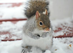 I found some seeds...the peanuts are where? (nushuz) Tags: seed peanuts snow myporch graysquirrel cold snowonhisnose cuteness seedinhispaws
