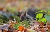 Scoiattolo Rosso (Christian Papagni   Photography) Tags: monza lombardia italia it scoiattolo rosso squirrel parco di canon eos 5d mark iv ef100400mm f4556l is ii usm