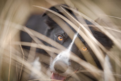 5/52 More engaging than most (JJFET) Tags: 5 52 weeks for dogs paddy border collie dog sheepdog