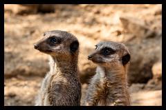 Vigilance (Daniel_Hache) Tags: canon eos 1000d zoo ete