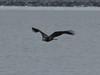 IMG_3188crop (neatnessdotcom) Tags: bald eagles hudson river bay winter birds prey peekskill ny westchester new york canon ef 100400mm f4556l is usm telephoto zoom lens eos rebel t2i 550d