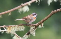 Rufous-collared Sparrow / Bruant chingolo / Zonotrichia capensis (ricketdi) Tags: birdofcostarica rufouscollaredsparrow zonotrichiacapensis bruantchingolo sunrays5