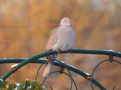 Türkentaube (Sophia-Fatima) Tags: mygarden meingarten naturgarten gardening türkentaube dove