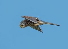 Kestrel ( Falcoo tinnunculus ) Male (Dale Ayres) Tags: kestrel faco tinnunculus bird nature wildlife