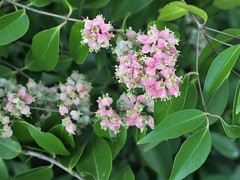 'Backhousia tetraptera' after flowering Feb 9 2018 (Brown Dog Forster) Tags: backhousiatetraptera afrp qrfp dryarf arfflowers tropicalarf uplandarf myrtaceae mtstuart backhousia townsville mysterytree mysterytreegenusnovmountstuart arffs pinkarffs chrisborough
