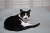 Tina on the chenille cloud (rootcrop54) Tags: tina female tuxedo small chenille dog bed cloud neko macska kedi 猫 kočka kissa γάτα köttur kucing gatto 고양이 kaķis katė katt katze katzen kot кошка mačka gatos maček kitteh chat ネコ