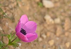 Anemone coronaria (Nikos Roditakis) Tags: anemone coronaria poppy ranunculaceae cretan wild plants greek european nikos roditakis nikon d5200 macro tamron af sp 90mm f28