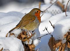 Rougegorge familier (jean-lucfoucret) Tags: nikon d500 nikkor 200500 birds bird aves passériformes muscicapidés erithacus rubecula european robin rougegorge familier snow winter