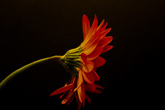 Happy valentines (jmiller35) Tags: singleflower canon stilllife closeupflower fleur flores macro orangeflower orange flower